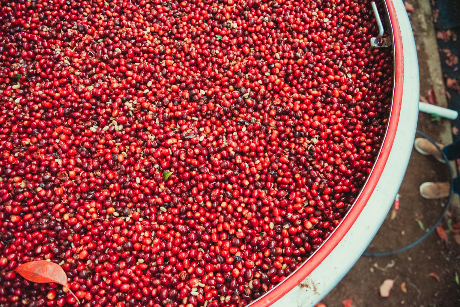 Kaffebærerne bliver først plukket når de er helt modne og har en dyb rød farve
