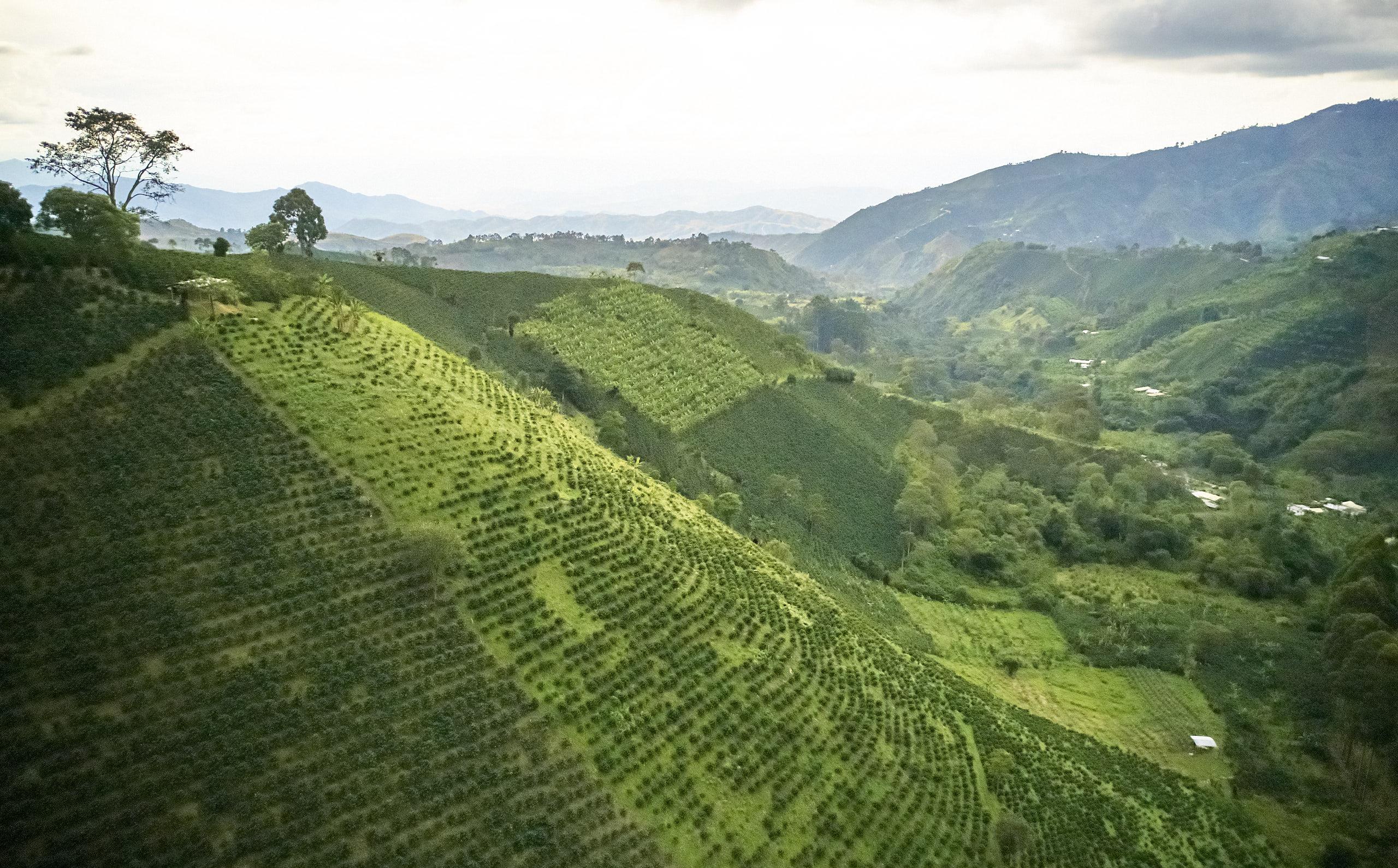 I bjerglandskabet trives kaffetræerne