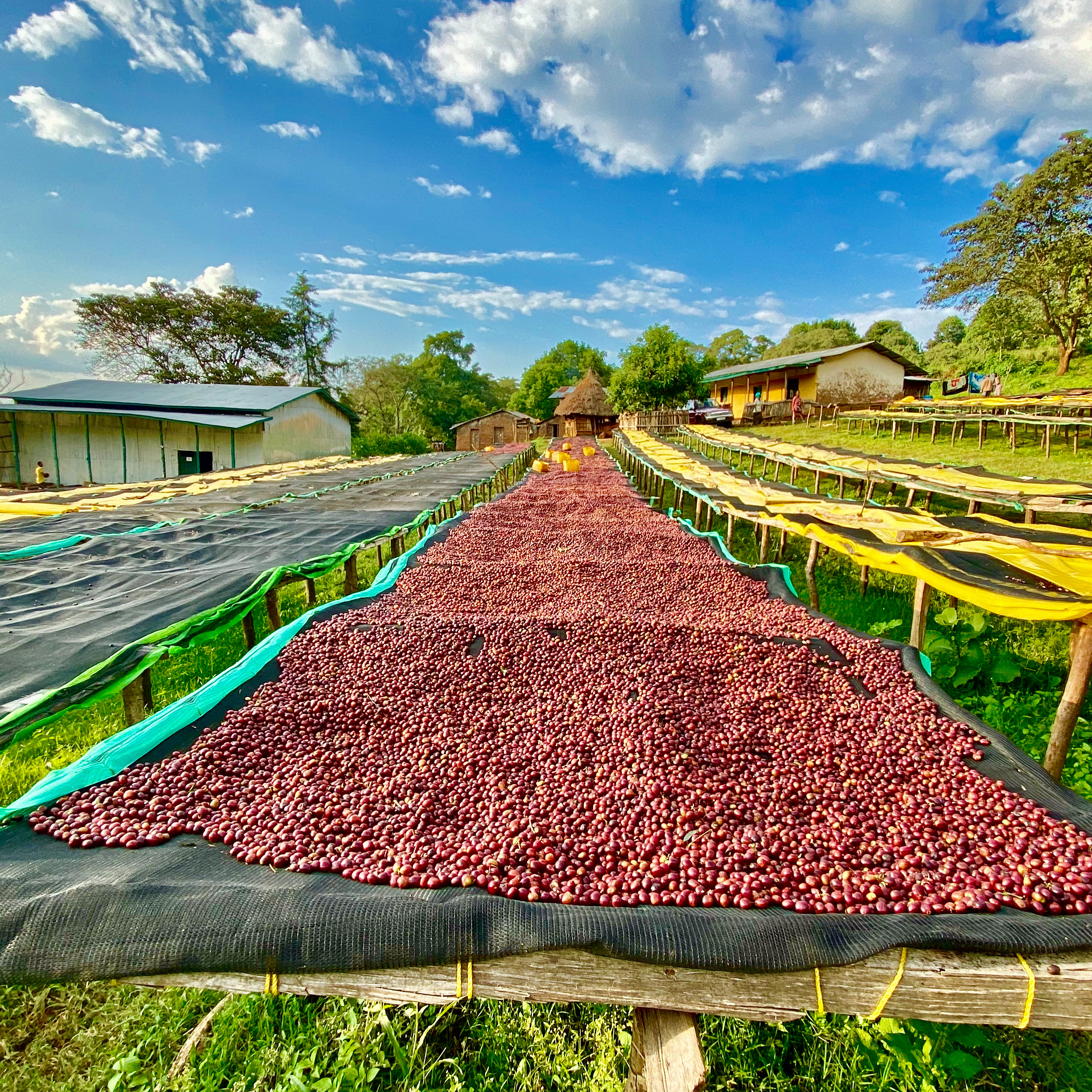 Natural processed cherries drying on raised beds