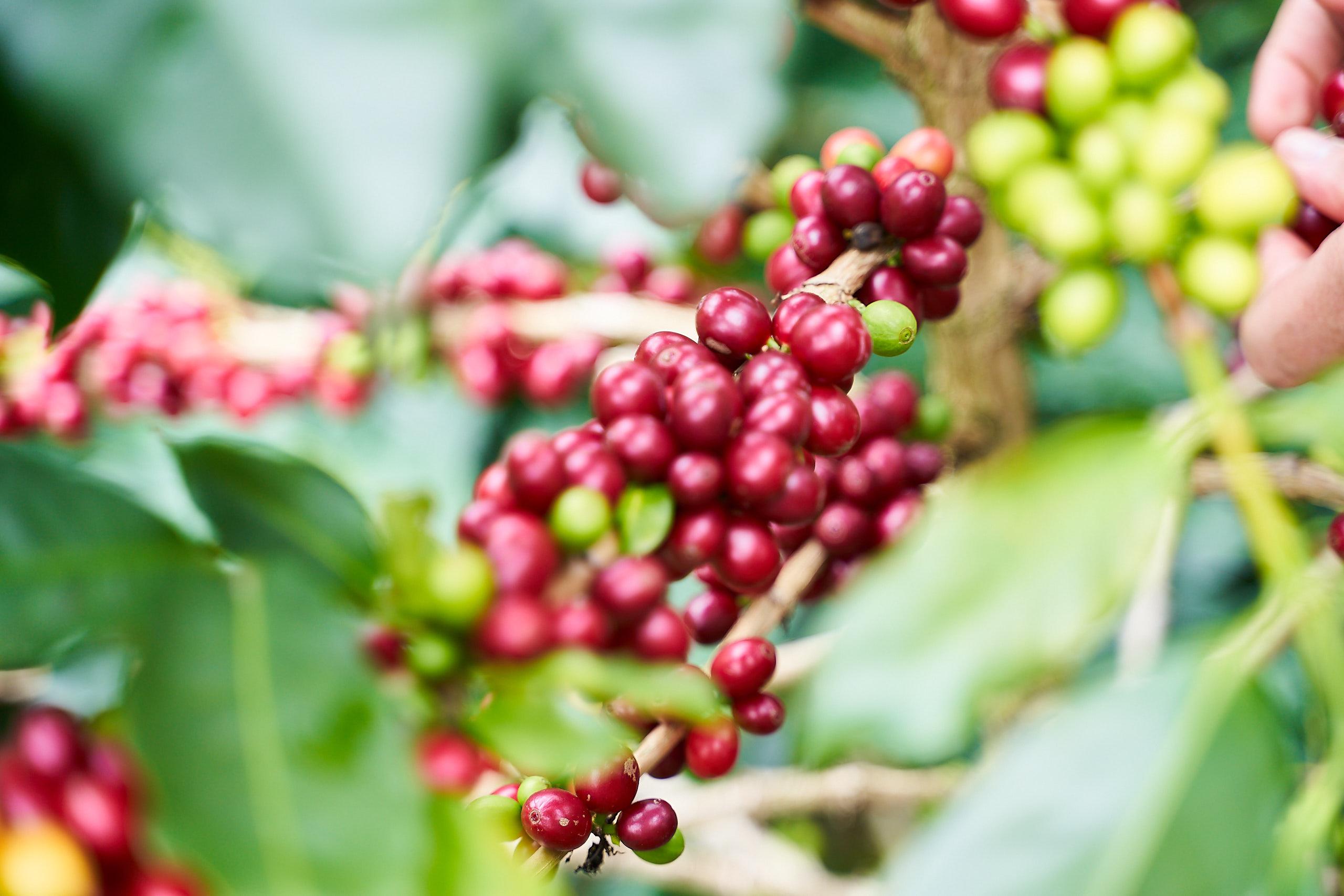 Beautiful ripe coffee cherries
