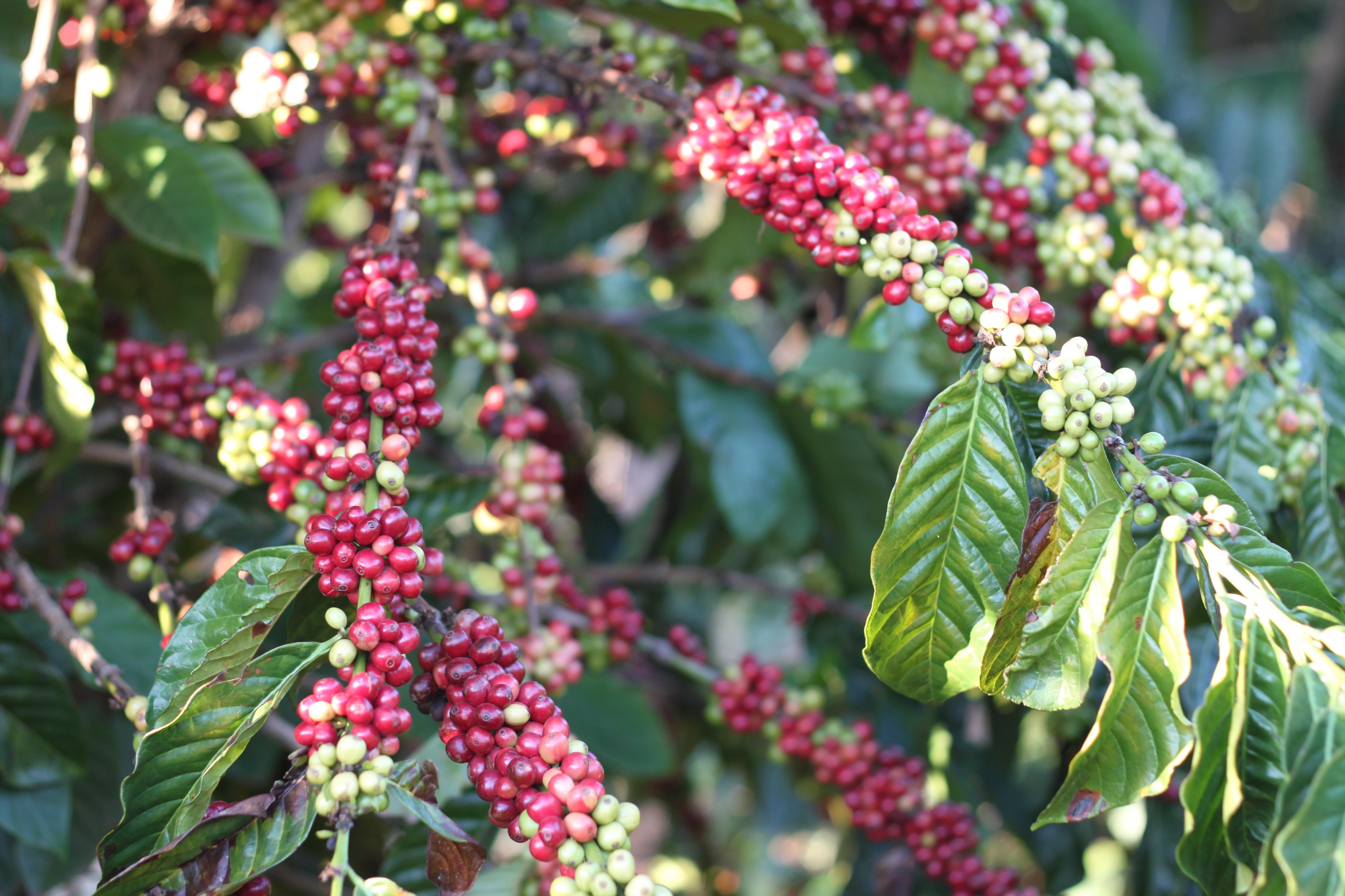 Clusters of cherries