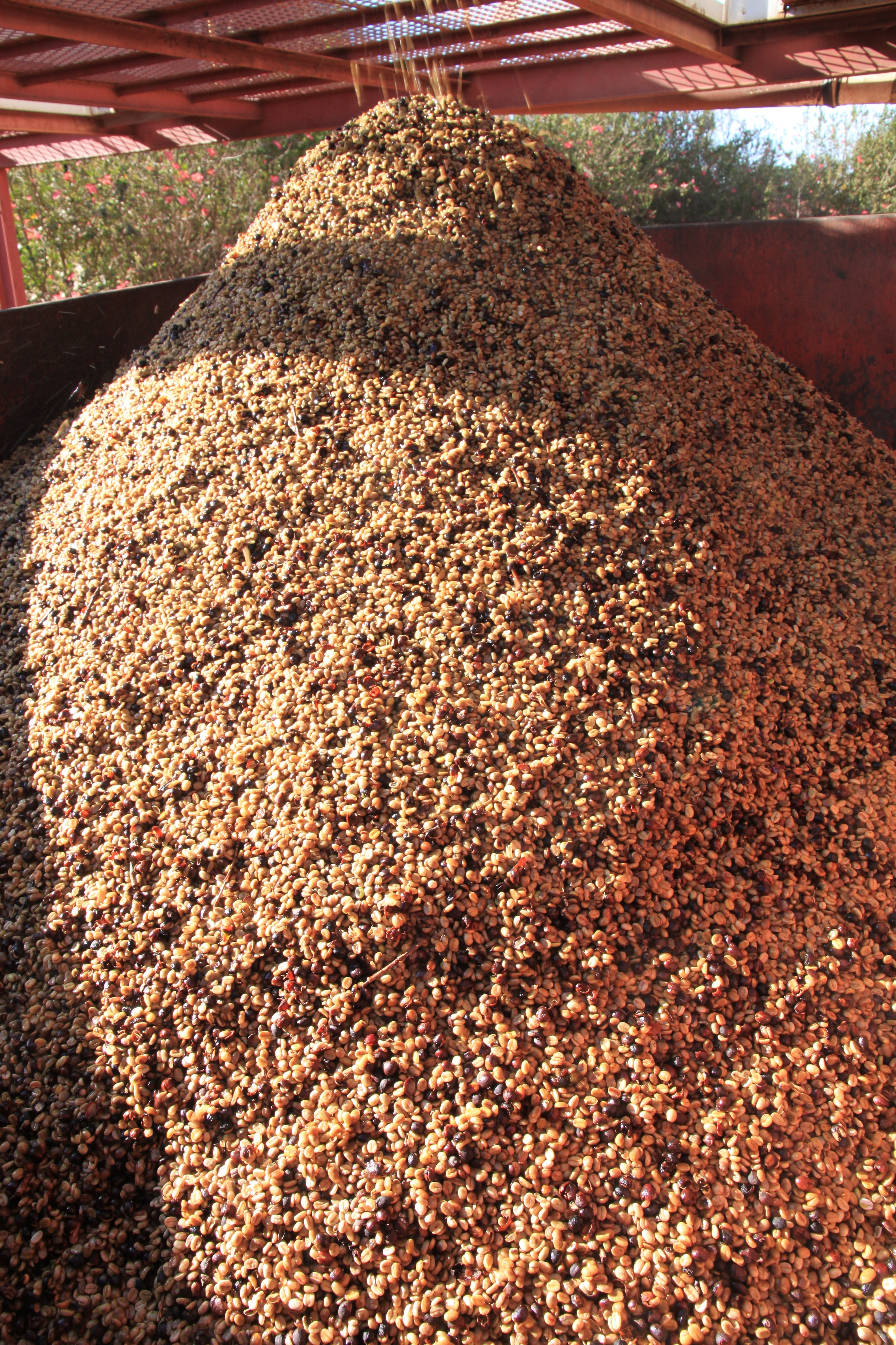 Cherries are pulped before drying